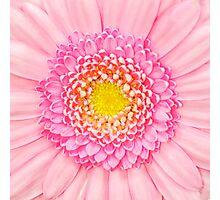 Pink Gerbera Flower Macro Photographic Print