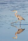 Hunting Great Blue Heron Reflected by Kenneth Keifer