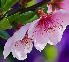 Nectarine Blossoms by Margaret Barry