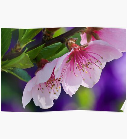 Nectarine Blossoms Poster