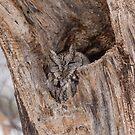 Eastern Screech Owl by Josef Pittner