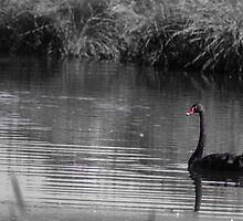 Regal and dignified nz black swan by wildedgepics