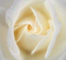 Rose - Winchester Cathedral by Darren Post