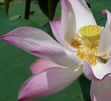 Lotus by Cal Gordon
