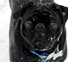 Snow Pug Sticker