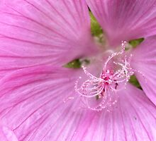 Pink Annual Mallow by PhotosByHealy