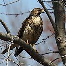 Perched Hawk by Sheryl Hopkins