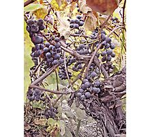 Fruit Of The Vine Photographic Print