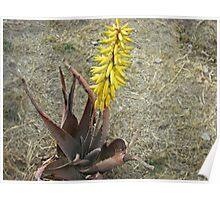 Aloe Poster