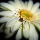 Daisy and the Spider by DottieDees