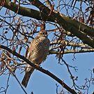 Sparrow Hawk by Robert Abraham