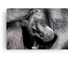 Sulawesi crested macaque  Canvas Print