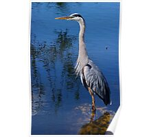 Great Blue Heron - The Whole Bird Poster