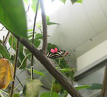 Zebra Longwing by Jeralynn