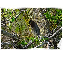 Little Green Heron - In the Everglades Poster
