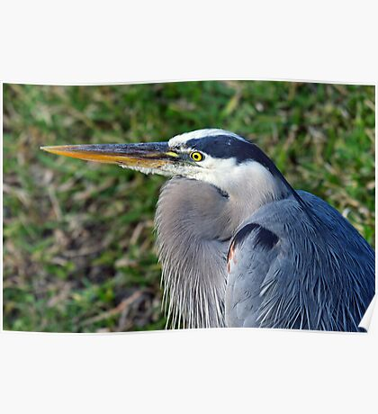 Great Blue Heron - Resting Poster