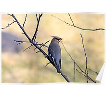 Bohemian Waxwing In Spring Poster