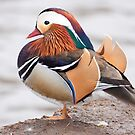 Mandarin Duck  1 by lloydsjourney