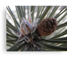 A Precious New Pine Cone Canvas Print