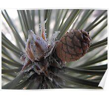 A Precious New Pine Cone Poster