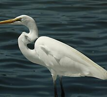 White Heron by Peri