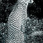 cheetah sitting in profile black and white by philipclarke