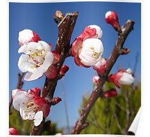 Red and White Blossom Poster