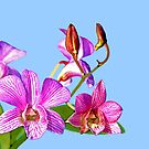 Orchid: Ortgies Cattleyopsis by Bob Fox