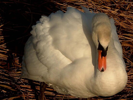 Nesting  Swan by Ann Persse