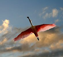 SPOONBILL IN FLIGHT by TomBaumker