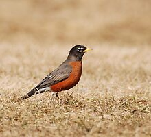 Robin by Lynda   McDonald