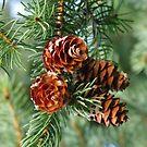 Pine Cones :] by Tracy Wazny