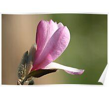 Budding Magnolia Poster