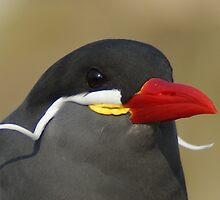 Inca Tern close up by Pastis