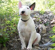 Bull Terrier puppy by Meagan Langlois