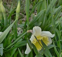 Daffodil by TheOnlineBusker