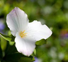 Wild White Trillium Macro by Craig Sterken