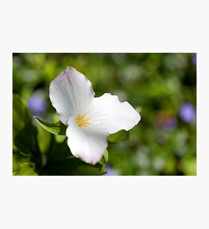 Wild White Trillium Macro Photographic Print
