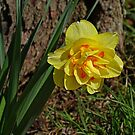 Double Daffodil by Sandy Keeton