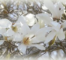 Star Magnolia Blossoms by Sandy Keeton