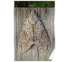 Australian Privet Hawk Moth Poster