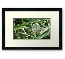 Butterflies Mating Framed Print