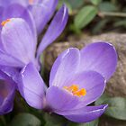 Crocus Blossoms by Lynn Gedeon