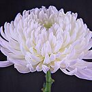 White Glowing Mum Flower by daphsam