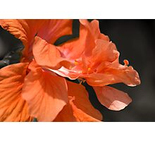 Double Peach Hisbiscus Photographic Print
