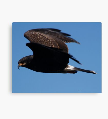 Snail Kite Canvas Print