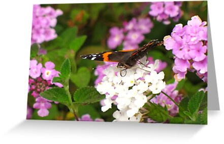 Butterfly ~ Red Admiral by Kimberly Chadwick