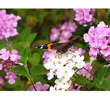 Butterfly ~ Red Admiral Photographic Print