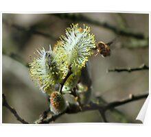 Beefly on pussy willow Poster