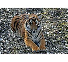 Sirius Malaysian Tiger Photographic Print